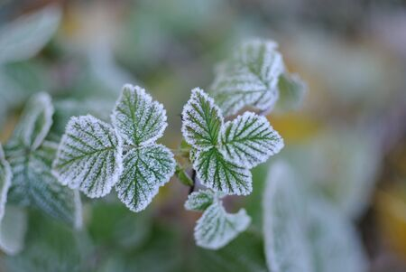 background Hoarfrost on leaves Stock Photo
