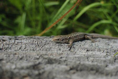 the lizard is heated on a log Stock Photo