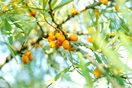 sea-buckthorn berries berries on a bush Stock Photo
