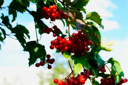 guelder: guelder-rose berries on a bush Stock Photo