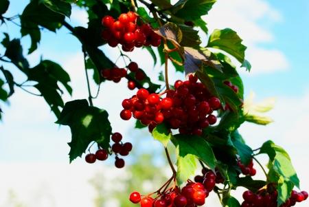 guelderrose: guelder-rose berries on a bush Stock Photo