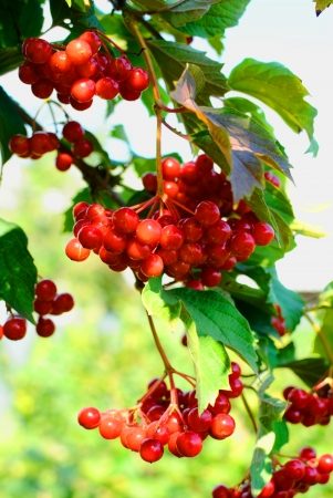 bunchy: guelder-rose berries on a bush Stock Photo