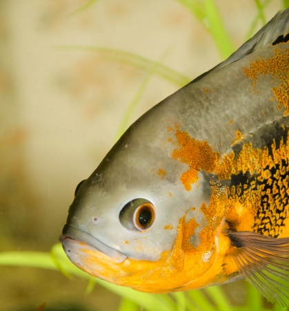 Astronotus in an aquarium Stock Photo
