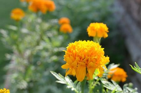 beautifull: beautifull Marigold in morning