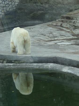 The white bear in Moscow zoo photo
