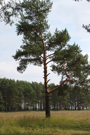 lone pine: Lone pinos en el bosque Foto de archivo