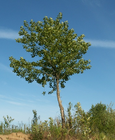 Young tree alone photo