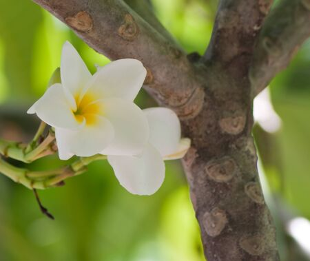 Branch of tropical flowers frangipani  plumeria   photo