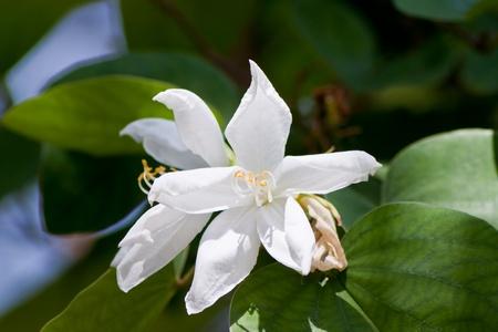 ebony tree: bauhinia purpurea tree