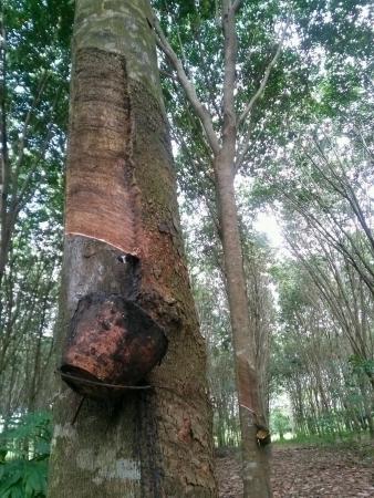 tapping: toccando lattice da un treeThailand gomma