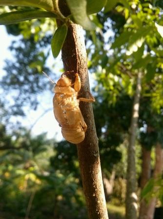 carcass: cicade op de plant, karkas Stockfoto