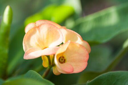 poi: Poi Sian flowers Stock Photo