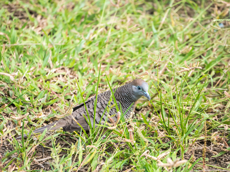 tropical evergreen forest: zebra dove eating grass in the park.
