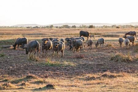 conservation grazing: buffalo in countryside,Thailand