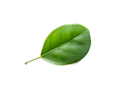 pipal: green leaves isolated on white