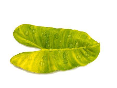 animal vein: Syngonium podophyllum leaves on a white background.