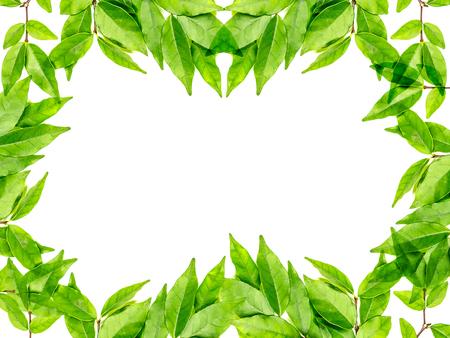jessamine: verde lucido Murraya Paniculata o Orange Jessamine lascia sullo sfondo Archivio Fotografico