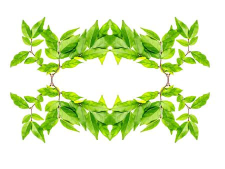 jessamine: green glossy Murraya Paniculata or Orange Jessamine leaves background Stock Photo
