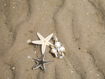 hermit crab: Starfish and Hermit crab buries itself in the sand, shallow water