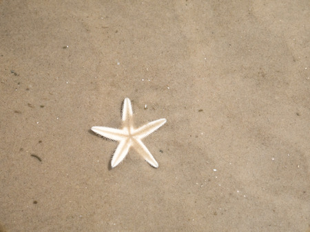 shallow water: Starfish buries itself in the sand, shallow water