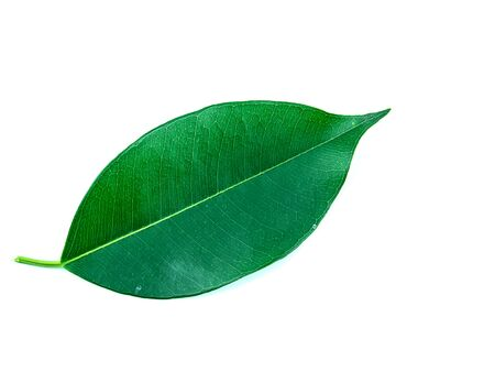 Feuilles d'un arbre de ficus