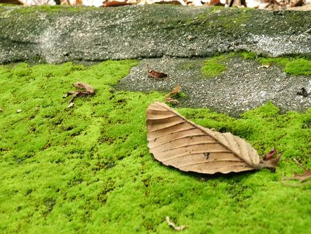 hojas secas: Las hojas secas en el musgo