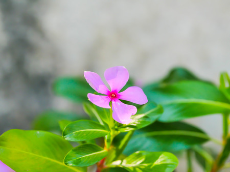 Catharanthus roseus flowers