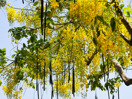 asian art: golden shower tree yellow
