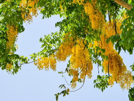 golden shower tree yellow
