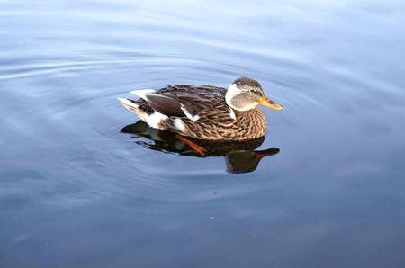 Female duck swimming