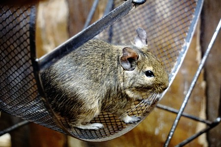 A Degu is sitting in its wheel Stock Photo