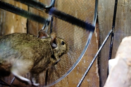 running nose: Photo of Degu running in a wheel