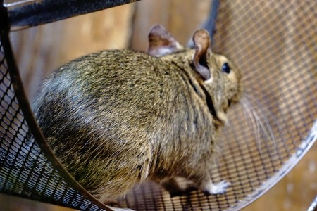 Photo of a Degu running in its wheel