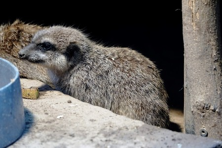 A photo of a cute and young Meerkat Stock Photo