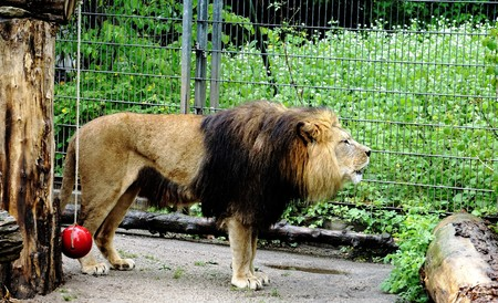 Photo of a roaring lion in the zoo Stock Photo