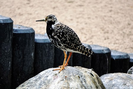 Photo of a young ruff standing on a stone Stock Photo