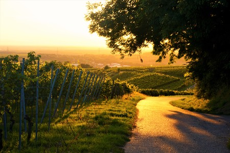 Golden sunset over a vineyard with path and tree Reklamní fotografie