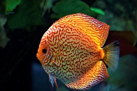 Discus fish swimming in an aquarium in the zoo