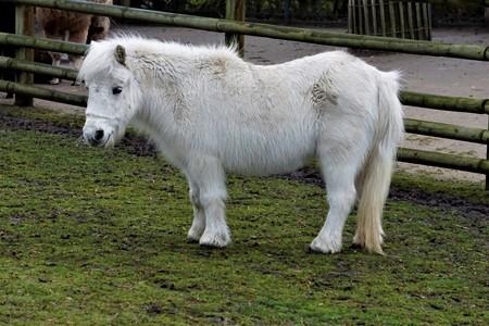 A white Shetland Pony on green grass Stock Photo