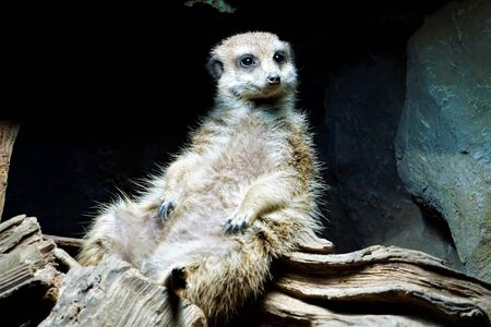 Meerkat sitting and chilling under lamp Stock Photo