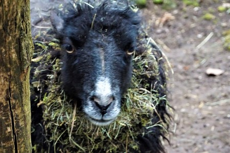 A black Ouessant sheep looking into the camera