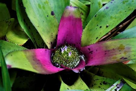 Pink and green Bromelidad spotten in the Secret Gardens, San Gerardo Imagens - 105673245