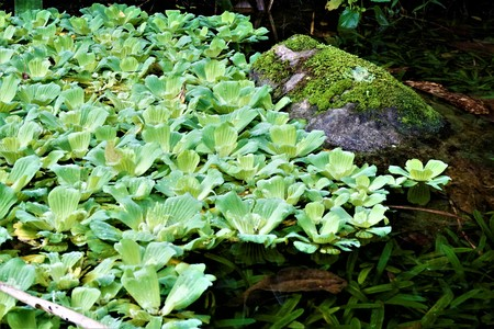 Water lettuce spotted on a lake in the Secret Gardens, San Gerardo