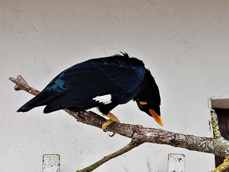 Common hill myna sitting on a branch looking funny 版權商用圖片