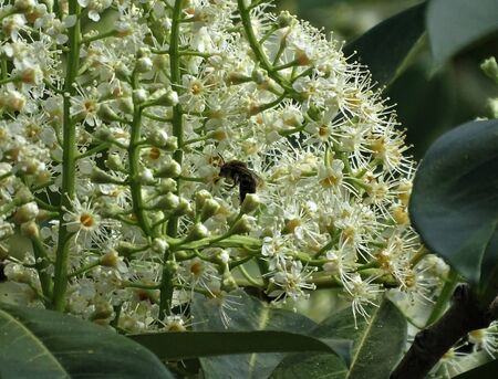 Honey bee pollinating a Prunus laurocerasus blossom in the sun Reklamní fotografie