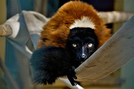Red ruffed lemur sitting in the zoo and staring into the camera