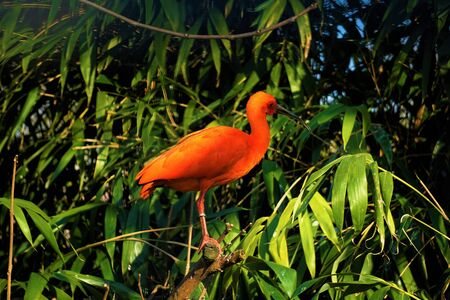 A scarlet ibis sitting on a tree branch