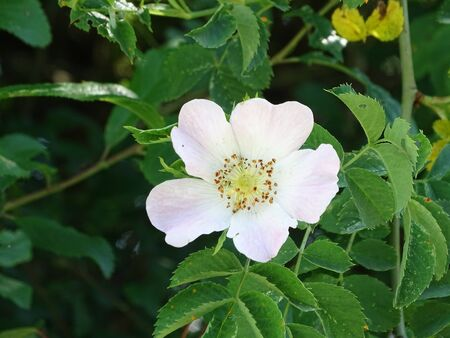 Mostly white Rosa canina blossom spotted in Germany in spring