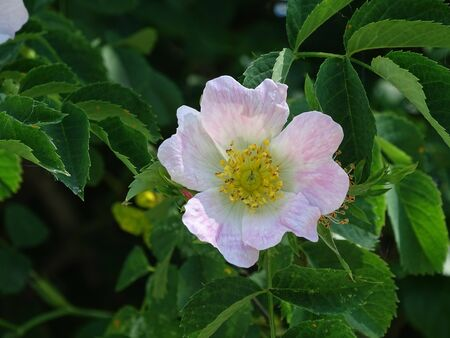Beautiful pink dog rose blossom in the sun Banco de Imagens