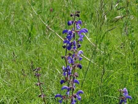 Stem of Salvia pratensis blossoms spotted on a green meadow